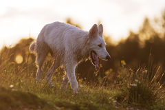 White German Shepherd at the border of a lake Royalty Free Stock Images