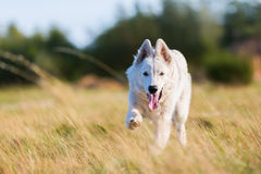 White German Shepherd running on the meadow Stock Image