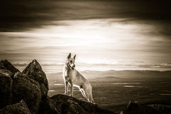 White German Shepherd dog standing on top of the mountain Stock Images