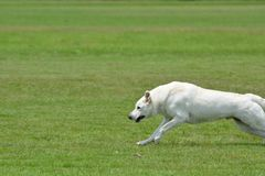 White German Shepherd Male running. White German Shepherds are beautiful and rare but make good family pets Stock Photo