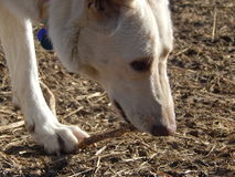 White German Shepherd Playing with Stick Royalty Free Stock Images