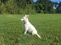 A White German Shepherd Puppy Sitting in the Grass. A profile shot of a white German Shepherd puppy sitting on lush green grass Stock Image