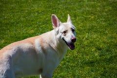 White german shepherd. A white german shepherd standing in the grass stock photos