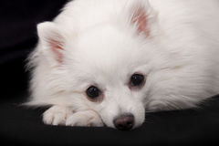 White   German Spitz stock image
