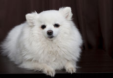 White German Spitz is on a brown background Royalty Free Stock Images