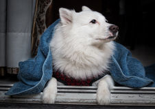 White German spitz dog covered in a blue blanket sitting near a doorway. Royalty Free Stock Photos