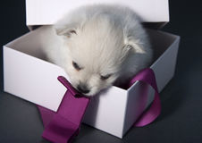 White German Spitz puppy in a box Stock Photography