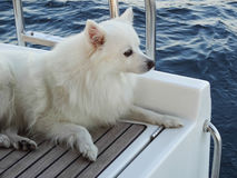 White German spitz Stock Photo