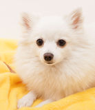 White German Spitz Small  on a yellow pillow looks directly into Royalty Free Stock Photography