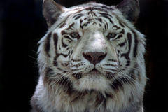 White Ghost. Rare White Tiger staring directly at the viewer and isolated on black background Royalty Free Stock Image