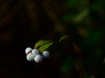 White  ghost berries. White ghost berries glow in a spot of sunlight Royalty Free Stock Photo