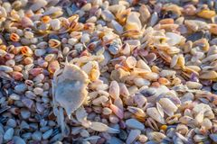 A white Ghost Crab in Anna Maria Island, Florida royalty free stock photo