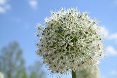 White giant Alium. This beautiful white ball shaped flower is called White Alium, Blue sky background Stock Images