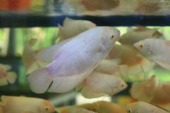White Giant gourami Stock Image