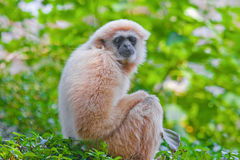 White handed gibbon the reserved wildlife animal Stock Images