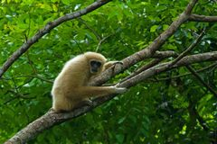 White Gibbon. In rain forest of Thailand Stock Photography
