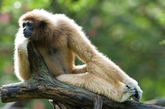 White Gibbon. Is mammal in Thailand Royalty Free Stock Photo