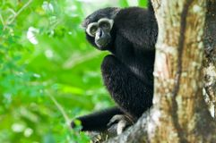 White Gibbon. Is mammal in Thailand Stock Image