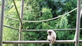 White gibbon ape stock video footage