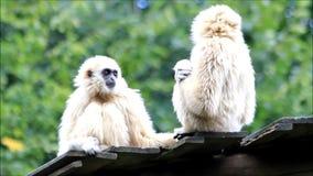 White gibbon apes stock video