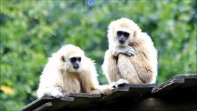 White gibbon apes stock video footage