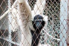 White Gibbon Behind Cages Royalty Free Stock Photos