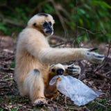 White cheek gibbon. White gibbon carrying plastic bag, Disposing of plastic bags, potentially dangerous to white gibbons Stock Image