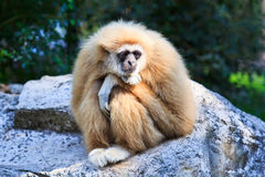 White gibbon Royalty Free Stock Photography