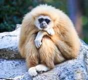 White gibbon. Gibbons are apes in the family Hylobatidae Stock Photography