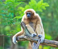 White gibbon Stock Image