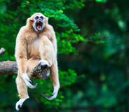 White gibbon. Gibbons are apes in the family Hylobatidae Royalty Free Stock Photo