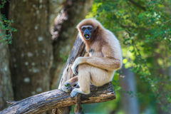White gibbon Stock Images