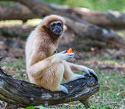White gibbon Royalty Free Stock Images