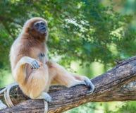 White gibbon Royalty Free Stock Photo