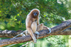 White gibbon. Gibbons are apes in the family Hylobatidae Royalty Free Stock Photos