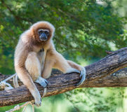 White gibbon. Gibbons are apes in the family Hylobatidae Royalty Free Stock Images