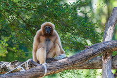 White gibbon. Gibbons are apes in the family Hylobatidae Stock Image