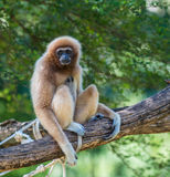 White gibbon. Gibbons are apes in the family Hylobatidae Stock Photos