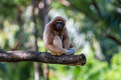 White gibbon. Gibbons are apes in the family Hylobatidae Stock Photo