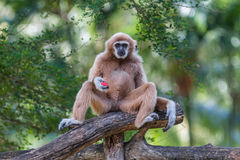 White gibbon. Gibbons are apes in the family Hylobatidae Royalty Free Stock Photography
