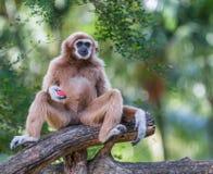 White gibbon Royalty Free Stock Images