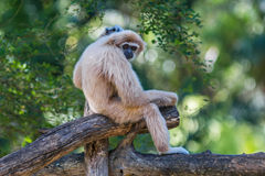 White gibbon Stock Photo