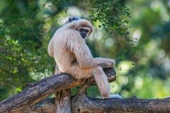 White gibbon Stock Photography