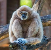 White gibbon. Gibbons are apes in the family Hylobatidae Stock Images
