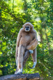 White gibbon. Gibbons are apes in the family Hylobatidae Royalty Free Stock Image