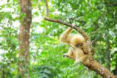 White gibbon in the green forest Royalty Free Stock Image