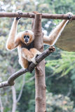 White gibbon Stock Photography