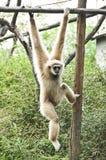 White gibbon. Stock Photography