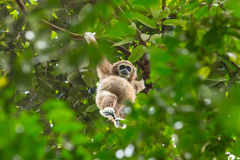 White gibbon hanging on a tree Stock Photos