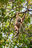 White gibbon hanging on a tree Royalty Free Stock Images